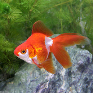 charm-金魚