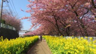 三浦海岸桜まつり