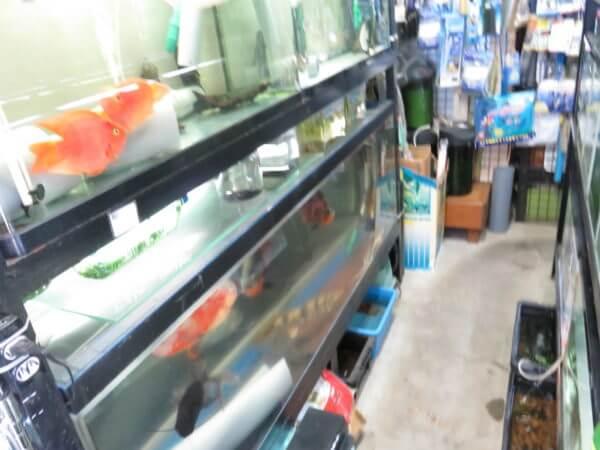 ナイル熱帯魚