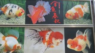 金魚の吉田